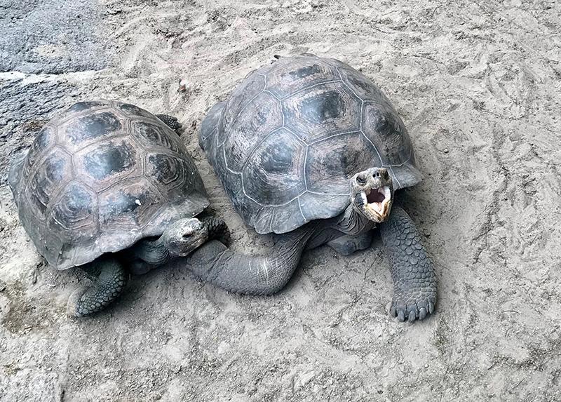 Galapagos Island Giant Tortoise