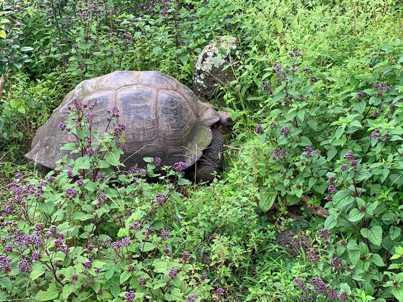 Puerto Ayora Giant Tortoise
