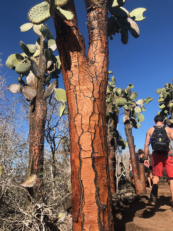 Old Cactus on Santa Cruz Island