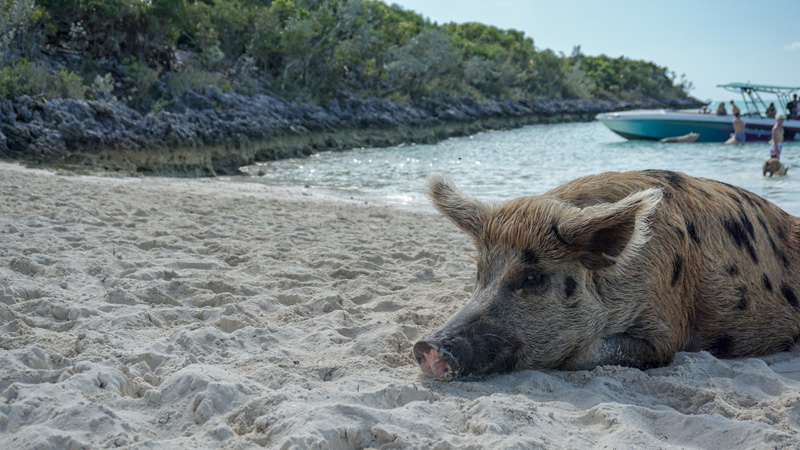 Exuma Pigs at Big Major Cay