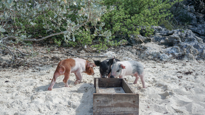 Exuma Swimming Piglets